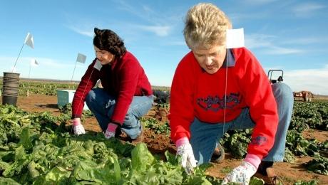 Agricultorii danezi caută 200 de muncitori români