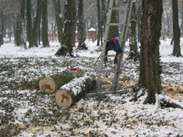 Ianuarie 2011: ,,Masa lemnoasă din tăierile din parc va fi valorificată prin licitaţie….,,