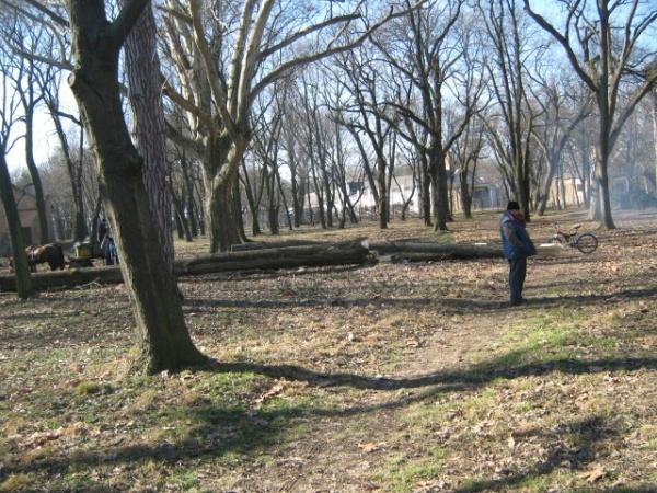 Continuă tăierile de arbori din Parcul Dendrologic