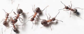 Cum să scapi de furnici cu ce ai la indemână