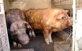 Ministerul Agriculturii investește 480 de milioane de euro în 4 ani pentru porci din rase străine