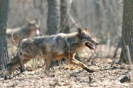9 urşi, 22 de lupi şi 107 pisici sălbatice – bilanţul carnivorelor sălbatice din judeţul Satu Mare