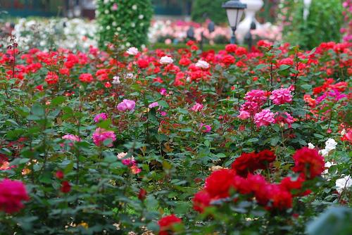 Nume de cod:Trandafirul