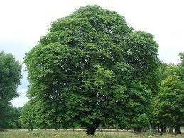 Horoscop celtic: Copacul care îţi ocroteşte zodia + Puterile pe care le moşteneşti