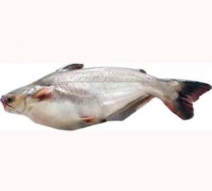 Pangasius un peşte crescut industrial,hrănit cu excremente ?