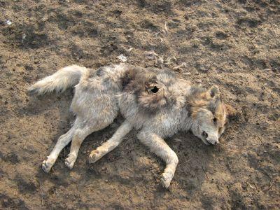 Cadavre de câini  abandonate pe câmp