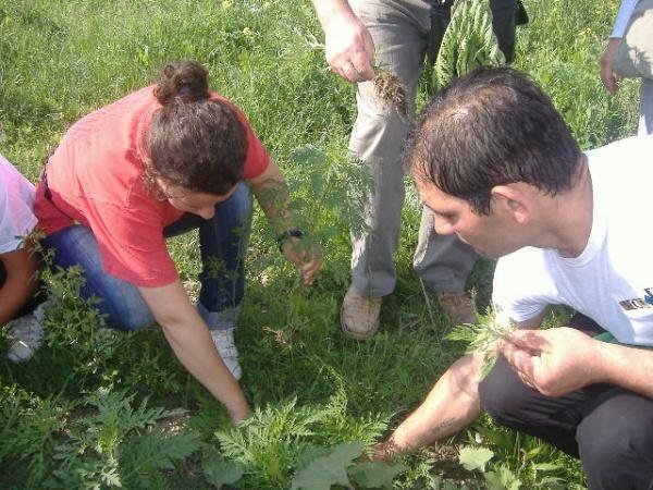 """Campania """"Ambrosia – factor de risc pentru mediu şi sănătate"""" 2013"""