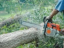 S-au furat 4 arbori la Săcăşeni