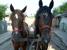 La furat de cai