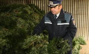 Combaterea  comerţului ilegal cu brazi de Crăciun