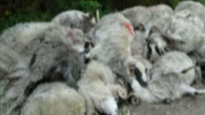 Turmă de oi spulberată la Ghenci