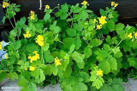 Rostopasca, planta care LUPTĂ cu hepatita şi cancerul