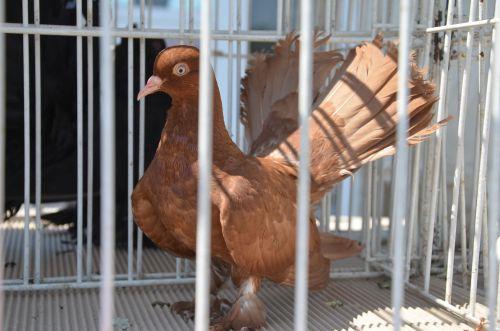 Expoziția Internațională de porumbei, găini, iepuri și păsări exotice