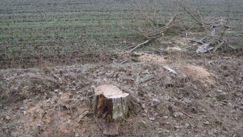 Tăiere ilegală de arbori la Cămin
