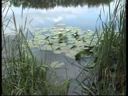 Specii rare de nuferi pe lacul din Ianculeşti semnalate de un specialist în geo-botanică
