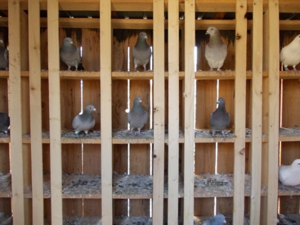 Careienii domină net  Campionatul cu concursuri de porumbei voiajori. Locul I la etapa din Slovacia şi primele 2 locuri la etapa din Cehia