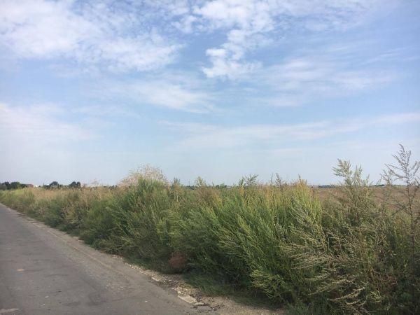 Un cititor careian semnalează invazie de ambrozie, iarba pârloagelor