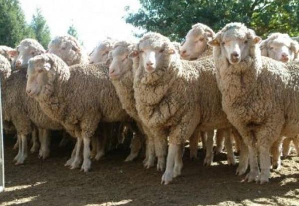 """Programul """"Comercializarea lânii"""" include 740 de crescători cu 258.543 oi din judeţ"""
