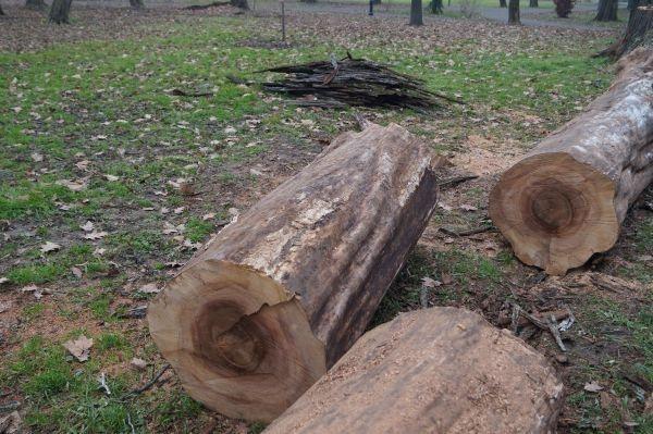 Adresele de la Garda  de Mediu şi Forestieră pentru tăierile de arbori din parcul …dendrologic Carei