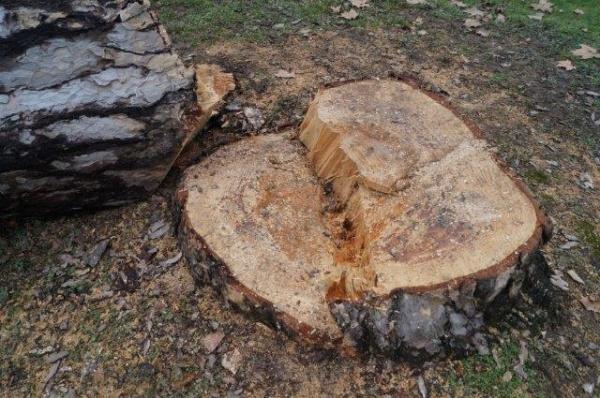 Pentru specialiştii din silvicultură. Câţi mc are un Pin de peste 12 m şi 85cm diametru la cioată?