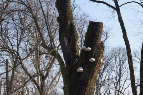 Garda de Mediu Satu Mare percepe Pinus Nigra uscat nu şi arborii cu carii, ciuperci şi găunoşi