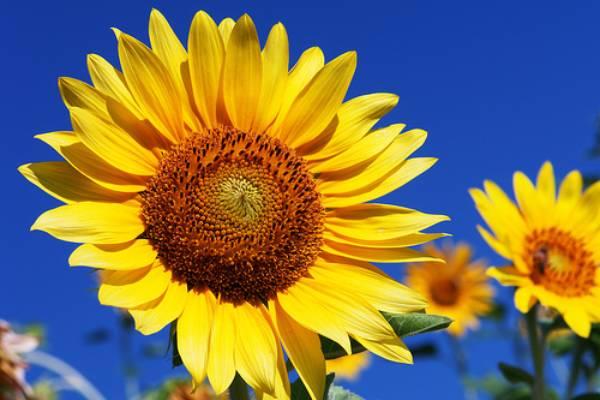 România conduce in topul producătorilor europeni de floarea-soarelui