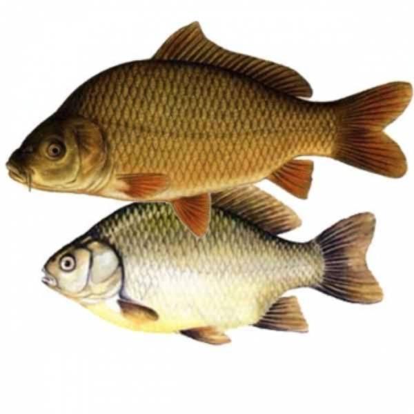 Braconaj piscicol la Berveni şi Căpleni
