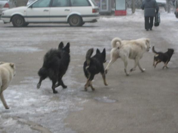 CCR salvează câinii vagabonzi – legea eutanasierii e neconstituţională