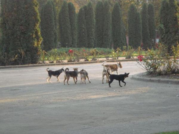 Comisiile parlamentare au decis: Câinii fără stăpân, eutanasiaţi în 14 zile