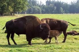 Comuna cu cei mai mulţi bizoni din ţară