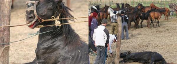"""Caii din Letea au fost salvaţi: """"Tocmai eliberăm caii"""""""