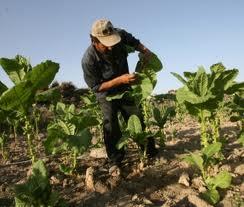 Românii au început să cultive tutun, în locul cerealelor