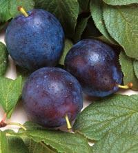Prunele – sursă de sănătate şi vitalitate