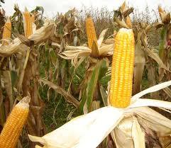 Analiză bursa cerealelor AgroGo: Prețul porumbului la recoltare și perspective