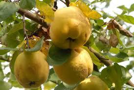 Gutuia,fructul cu multiple proprietăţi