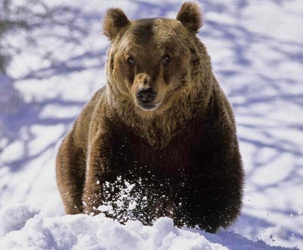 Ziua Ursului-ziua care prevesteşte vremea