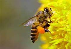 Pesticidele distrug coloniile de albine