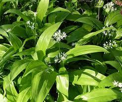 Leurda, primul detoxifiant natural al primăverii
