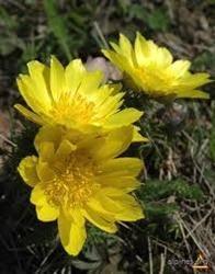 Ruşcuţa, floarea Paştelui care tratează afecţiunile inimii