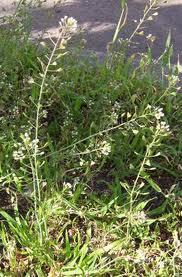 Traista-ciobanului, o plantă ce reglează circulaţia sângelui
