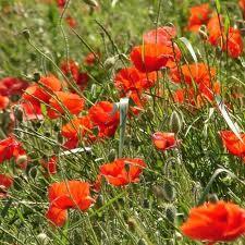 Flori de mai vindecătoare – macul roşu
