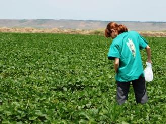 Îndopaţi cu soia modificată genetic
