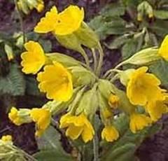Plantele medicinale ale lunii martie – ciuboţica-cucului şi salcia