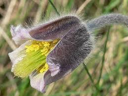 Plante rare puse în pericol la Foieni