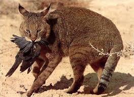 212 pisici sălbatice în judeţ.Efective de carnivore mari în scădere