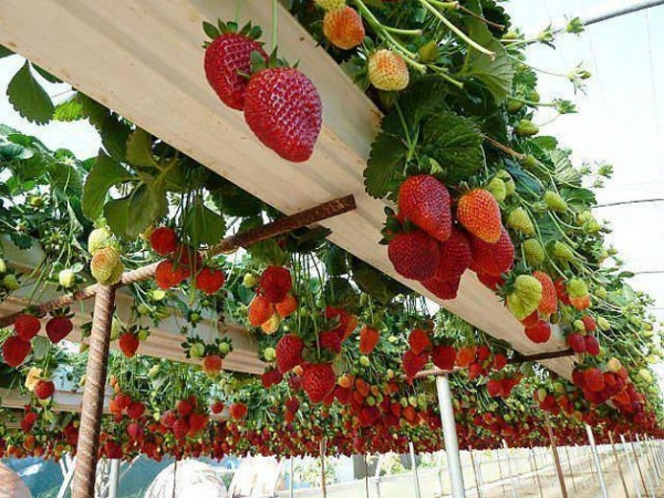 O metodă inedită de plantare a căpşunilor