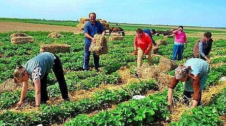 Satul sătmărean care alimentează jumătate de țară cu căpșuni