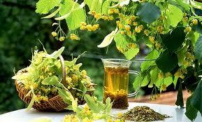 Culegeţi flori de tei pentru ceai