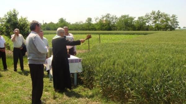 Tradiţii: Sfinţirea holdelor de grâu şi a vitelor la Ianculeşti