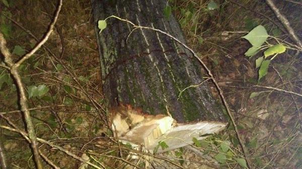 Tăierile ilegale de arbori în creştere